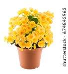 Yellow Begonia In The Flowerpot