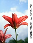 Two Red Lily Flowers Up Agains...