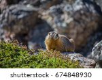 A Yellow Bellied Marmot Rests...