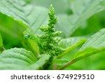 Small photo of Amaranthus spinosus Linn.