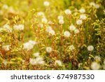 flowered salsify. background.... | Shutterstock . vector #674987530