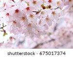 beautiful cherry blossoms in... | Shutterstock . vector #675017374