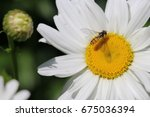 Hover Fly Or Flower Fly ...