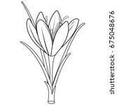 Saffron Crocus Flower. Black...