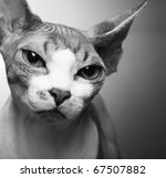 Stock photo cute sphynx on yellow background 67507882
