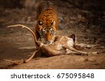 nice tiger female next to his... | Shutterstock . vector #675095848