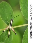 Small photo of Image of sugarcane white-tipped locust grasshopper (Ceracris fasciata) on green leaves. Insect Animal. Caelifera., Acrididae