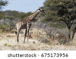 giraffe | Shutterstock . vector #675173956