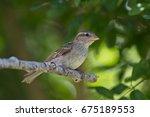 little sparrow | Shutterstock . vector #675189553