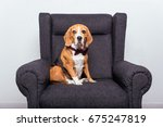 Beagle Dog In Bow Tie Sitting...