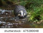 badger in forest creek.... | Shutterstock . vector #675280048