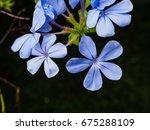 closeup blue flower small tree | Shutterstock . vector #675288109