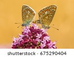 common blue  pair during... | Shutterstock . vector #675290404