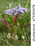 Small photo of Limonium vulgare flower (Plumbaginaceae; Caryophyllales) blooming in july at salt-rich sea coasts in the wadden sea of Denmark. The coasts of small island Mandoe are full of this blooming flowers.