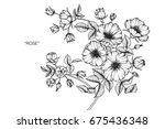 wild rose flowers drawing and... | Shutterstock .eps vector #675436348