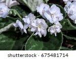 African Violet  Saintpaulia...