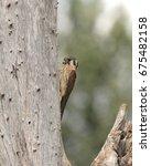 Small photo of American Kestrel (male)