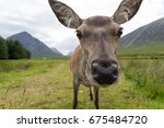 a female deer close up to... | Shutterstock . vector #675484720