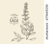 Sage  Branch Of Sage  Leaves...