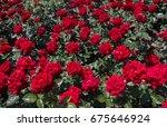 beautiful colorful rose... | Shutterstock . vector #675646924
