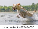 labrador dog runs through the... | Shutterstock . vector #675674650