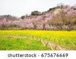 Yellow Nanohana Fields And...