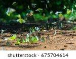group of butterflies puddling... | Shutterstock . vector #675704614