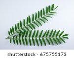 horse tamarind tree  leucaena... | Shutterstock . vector #675755173