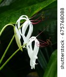 Small photo of Crinum erubescens. Amaryllidaceae family