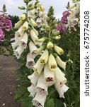digitalis white flowers in the... | Shutterstock . vector #675774208