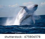 humpback whale   Shutterstock . vector #675806578