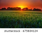 field of corn in the midwest at ...