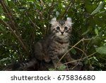 One Male American Curl Brown  ...
