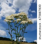 Small photo of Yarrow; Achillea; millefolium