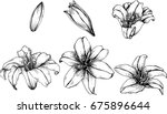 lily flowers drawing... | Shutterstock .eps vector #675896644
