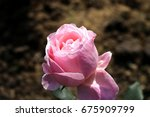 single pink rose | Shutterstock . vector #675909799