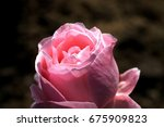 close up of a pink rose with... | Shutterstock . vector #675909823