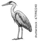 Grey  Common Heron Illustratio...