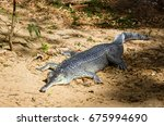 Wild Gharial Or Fish Eating...