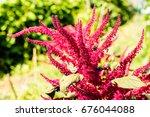 Small photo of amaranth - amaranthus hypochondriacus - botanical beckgrounds