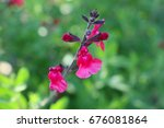 Small photo of autumn sage flower