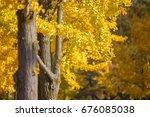 ginkgo biloba yellow leaf ... | Shutterstock . vector #676085038