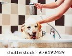 bathing of the yellow labrador... | Shutterstock . vector #676192429