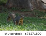 Small photo of Small gray squirrel shaking its tail in annoyance at intruders, and getting ready to scurry off