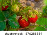 Bright Red Strawberry Grows On...