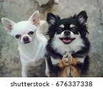 Chihuahuas Of Two Adorable...