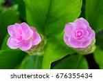 Small photo of top view twain Siam tulip pink