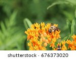 Asclepias Tuberosa With Bubble...