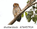 spotted wood owl strix seloputo ... | Shutterstock . vector #676457914