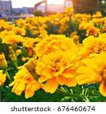yellow carnations. flower bed... | Shutterstock . vector #676460674